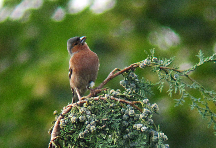 Buchfink Männchen Juni 2011