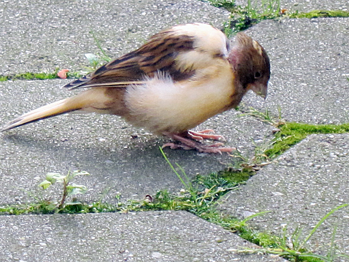 jungvogel juni 2011