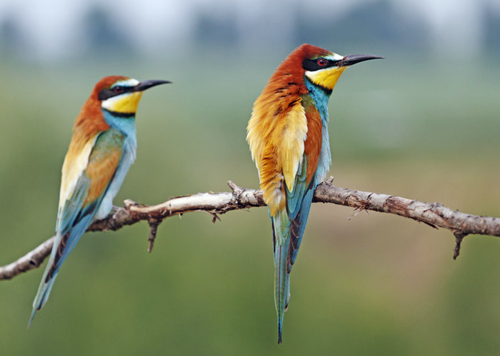 Breast wheel/European bee-eater