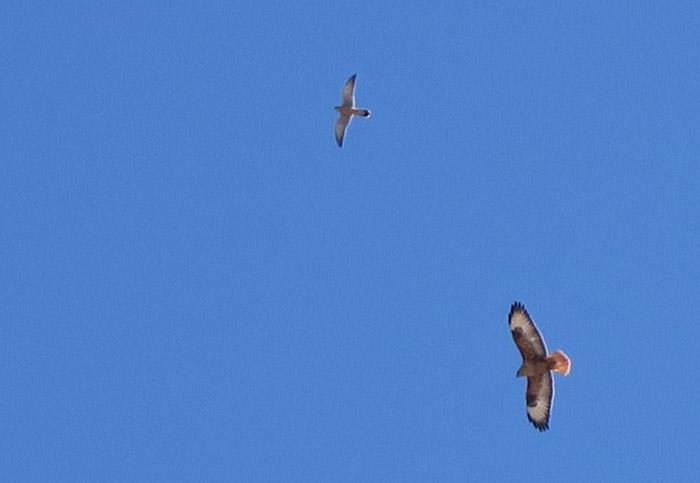 05_adlerbussard_long-legged-buzzard_turmfalke_marokko_2016-12-28_9765