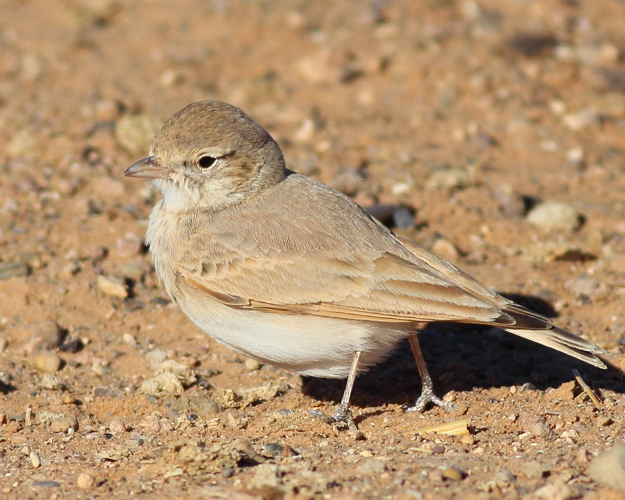 06_sandlerche_bar-tailed-lark_erg-chebbi_marokko_daehne_088