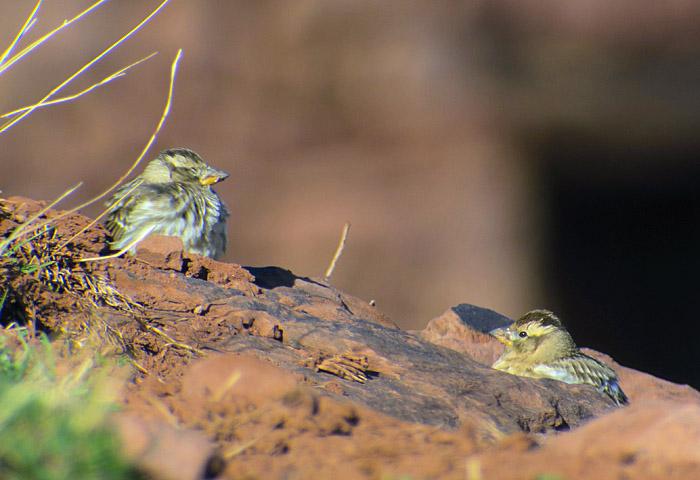 13_steinsperling_rock-sparrow_oukaimeden_marokko_2016-12-28_0032