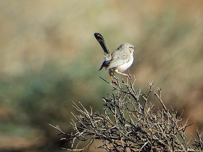 14_wuestenprinie_scrub-warbler_marokko_2016-12-31
