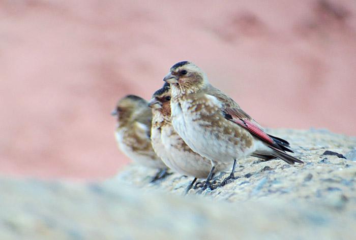 16_rotfluegelgimpel_crimson-winged-finch_oukaimeden_marokko_2016-12-28_0072
