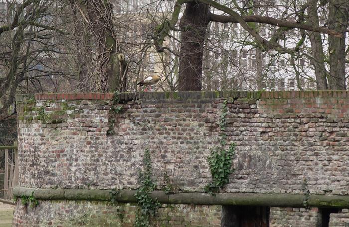 02_nilgans_spees-graben_duesseldorf_2017-03-04_3498