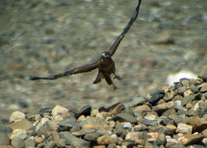 10_adlerbussard-long-legged-buzzard_morocco_may17_6180
