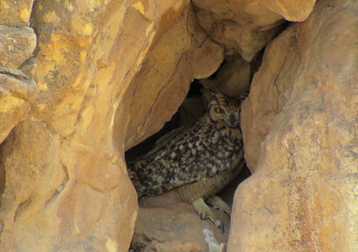 11a_pharaoh-eagle-owl_maroc_may2017_6187