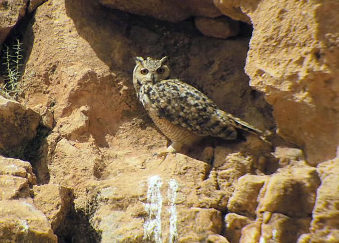 12_pharaoh-eagle-owl_maroc_may2017_hofbauer_6205