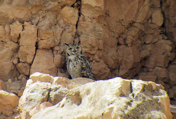 14_pharaoh-eagle-owl_maroc_may2017_hofbauer_6246
