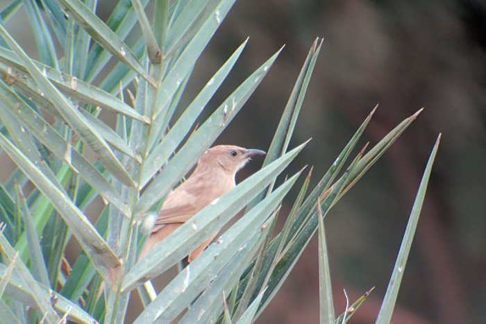 19_akaziendrossling_fulvous-babbler_morocco_may17_6366