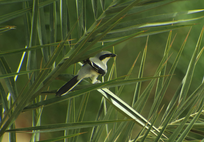 23_raubwuerger-southern-grey-shrike_morocco_may17_6481