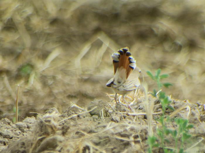 28_heckensaenger_rufous-tailed-scrub-robin_morocco_may17_6449