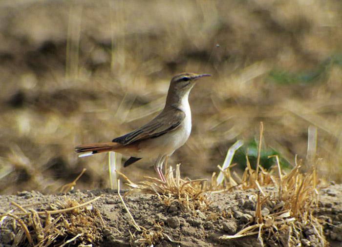 30_heckensaenger_rufous-tailed-scrub-robin_morocco_may17_6483