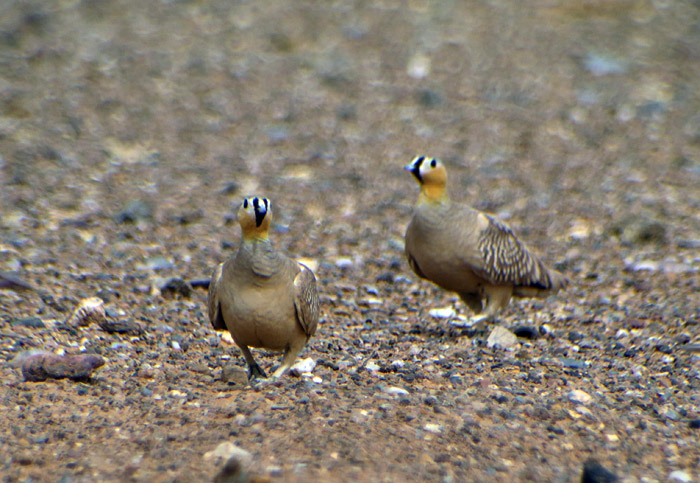 35_kronenflughuhn_crowned-sandgrouse_erg-chebbi_may17_6530