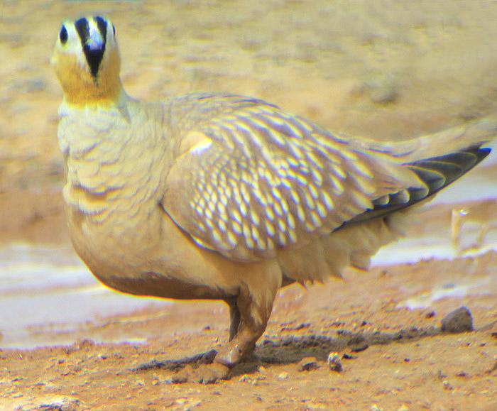 37_kronenflughuhn_crowned-sandgrouse_erg-chebbi_may17_6537