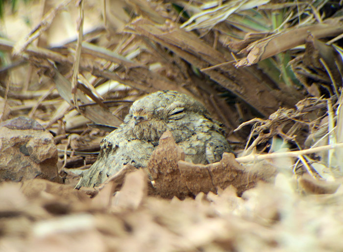 43_pharaonenziegenmelker_egyptian-nightjar_erg-chebbi_may17_6643