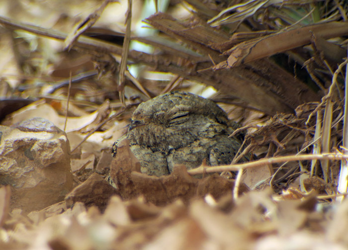 45_pharaonenziegenmelker_egyptian-nightjar_6661
