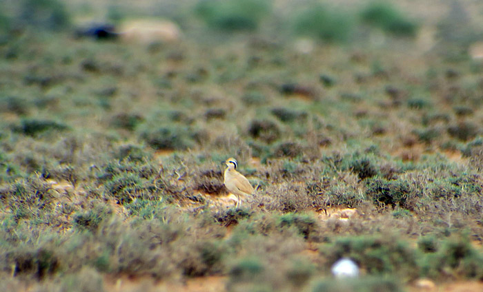 55_rennvogel_cream-coloured-courser_morocco_may17_6904