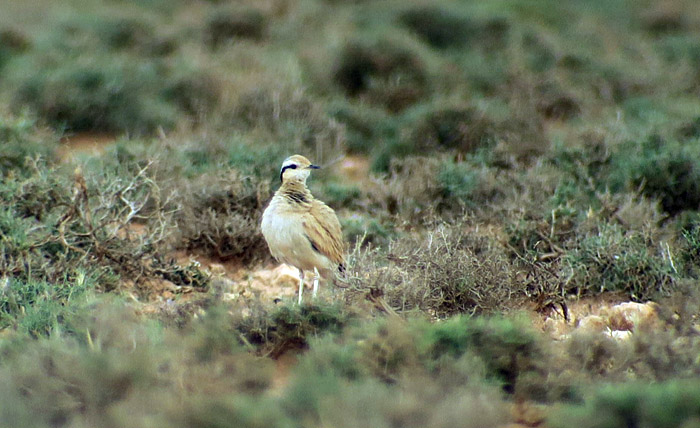 56_rennvogel_cream-coloured-courser_morocco_may17_6907