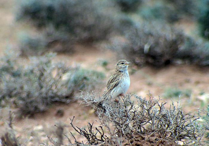 63_stummellerche_lesser-short-toed-lark_morocco_may17_7025