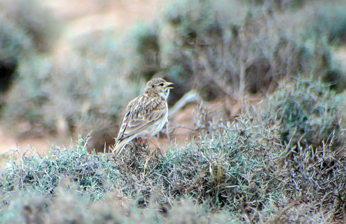 64_stummellerche_lesser-short-toed-lark_morocco_may17_7030