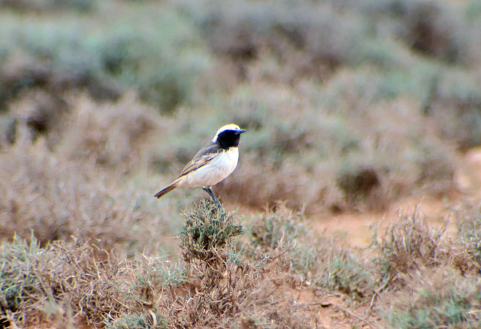 65_fahlbuerzel-steinschmaetzer_red-rumped-wheatear_morocco_may17_7042