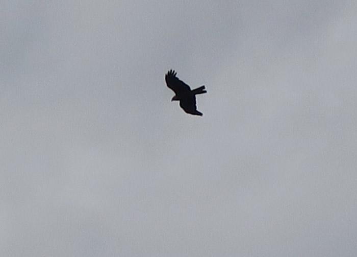 08_schwarzmilan_black-kite_ismaninger_2017-07-01_8480
