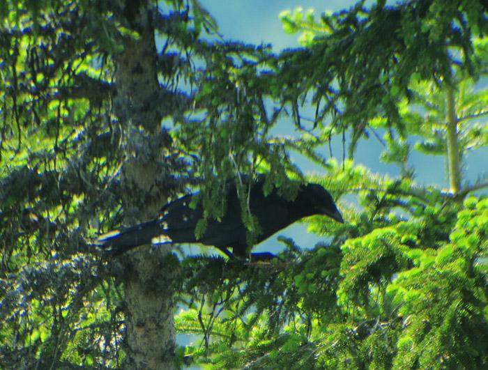 12_kolkrabe_northern-raven_wank_gap_2017-06-15_8178
