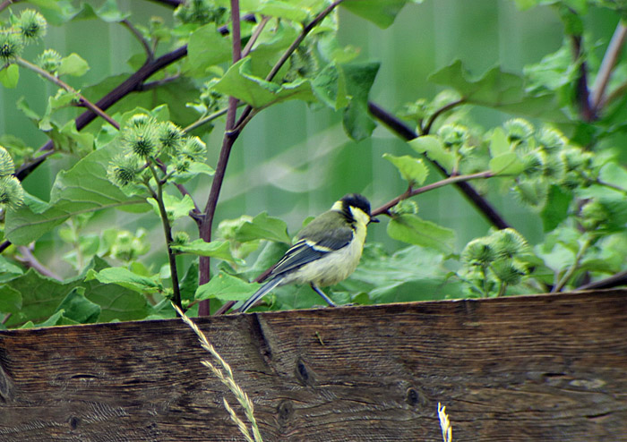 08_kohlmeise_great-tit_oberhaching_2017-07-09_8716