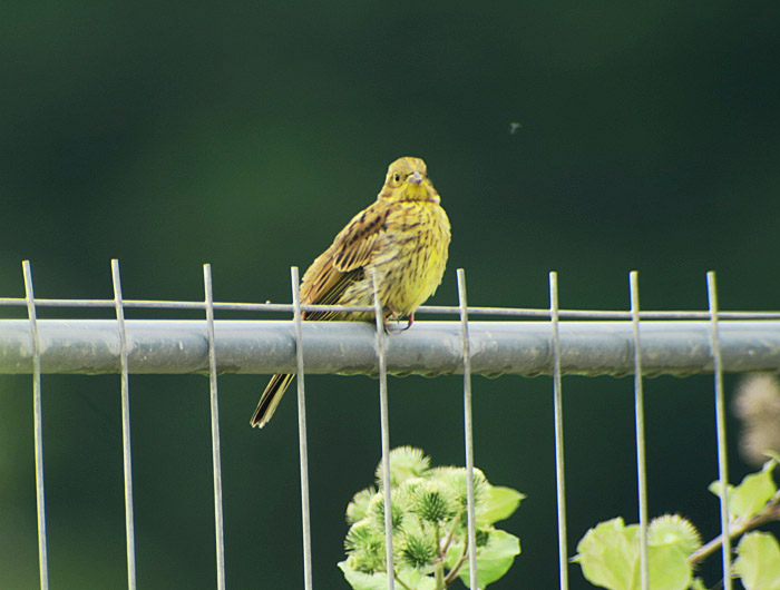 09_goldammer_yellowhammer_oberhaching_2017-07-09_8730