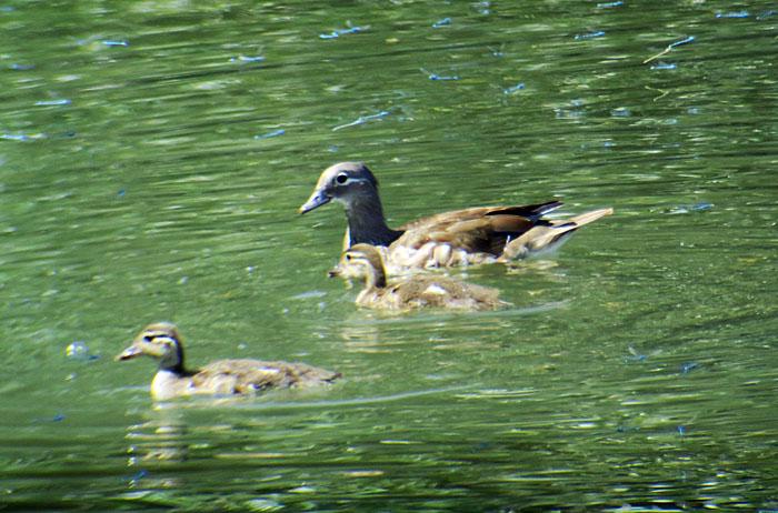09_mandarinente_mandarin-duck_ismaninger_2017-07-30_9391