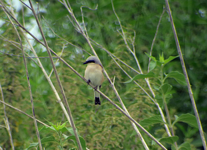 11_neuntoeter_red-backed-shrike_oberhaching_2017-07-09_8811