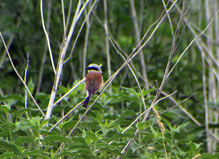 12_neuntoeter_red-backed-shrike_oberhaching_2017-07-09_8816