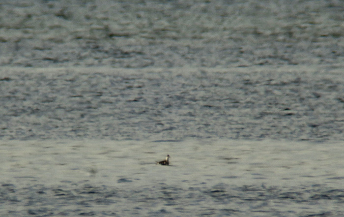 01_odinshuehnchen_red-necked-phalarope_ammersee_2017-11-04_2573