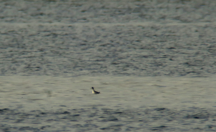 02_odinshuehnchen_red-necked-phalarope_ammersee_2017-11-04_2574