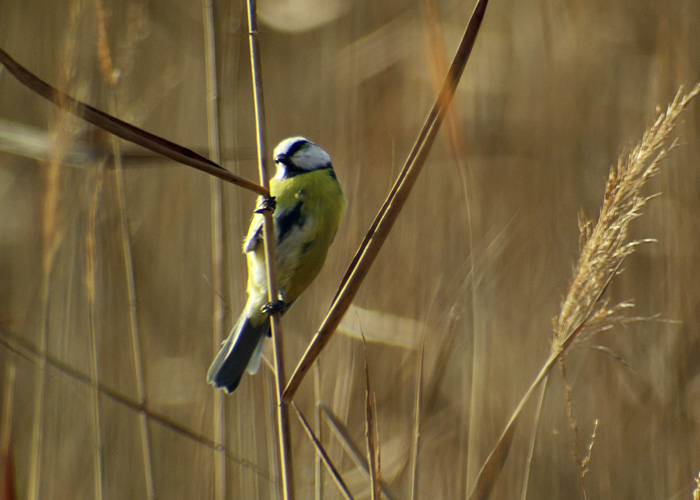07_blaumeise_blue-tit_ammersee-sued_2017-11-04_2727