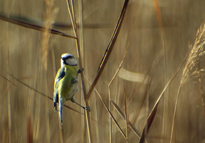 08_blaumeise_blue-tit_ammersee-sued_2017-11-04_2731