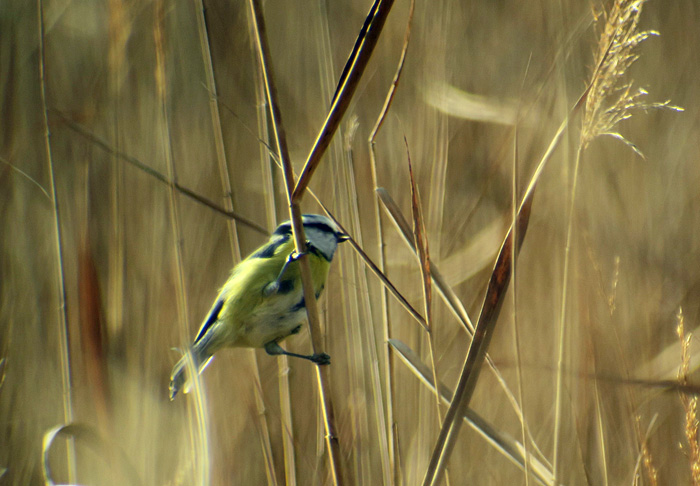 09_blaumeise_blue-tit_ammersee-sued_2017-11-04_2735