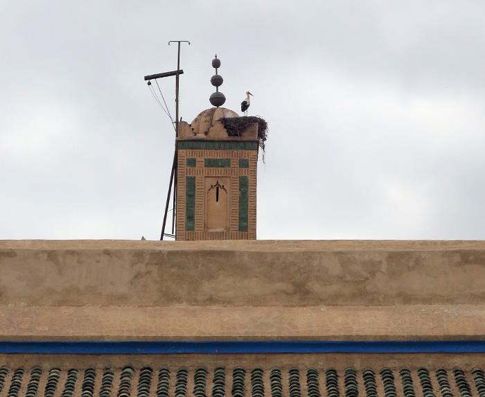 21_weissstorch_white-stork_marrakesh_maerz17_3769