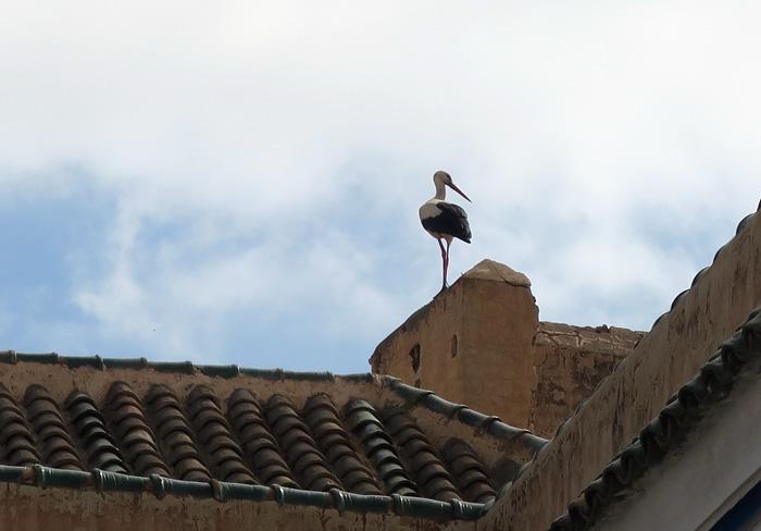22_weissstorch_white-stork_marrakesh_maerz17_3864