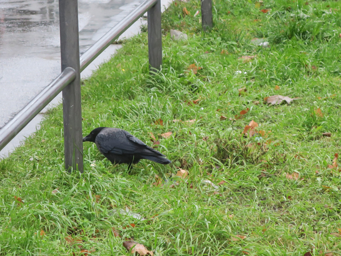 01_hybrid-raben-nebelkraehe_carrion-crow_2017-12-08_2887