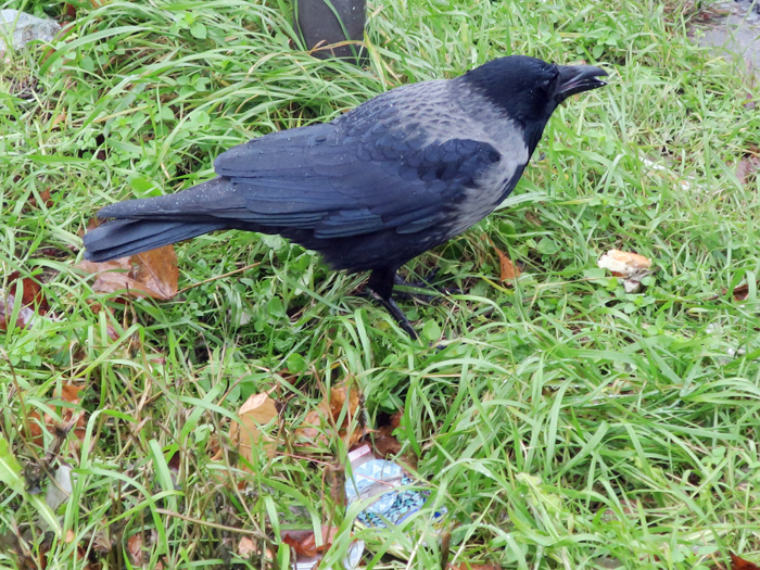02_hybrid-raben-nebelkraehe_carrion-crow_2017-12-08_2896