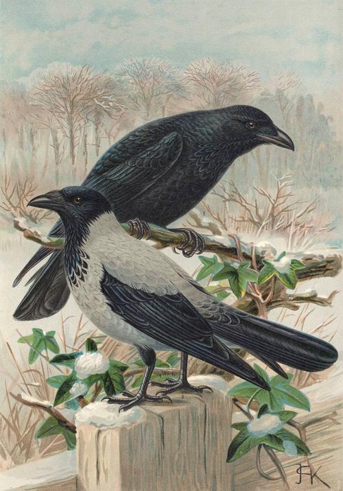 Corvus_cornix_public-domain_wikimedia-commons