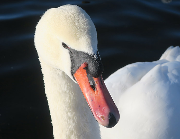 05_hoeckerschwan_mute-swan_nymphenburger_2017-12-29_3403