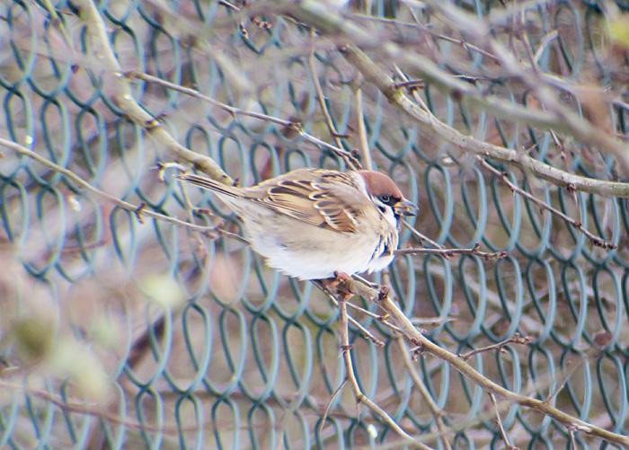 07_feldsperling_tree-sparrow_starnberger-see_2017-12-10_3031