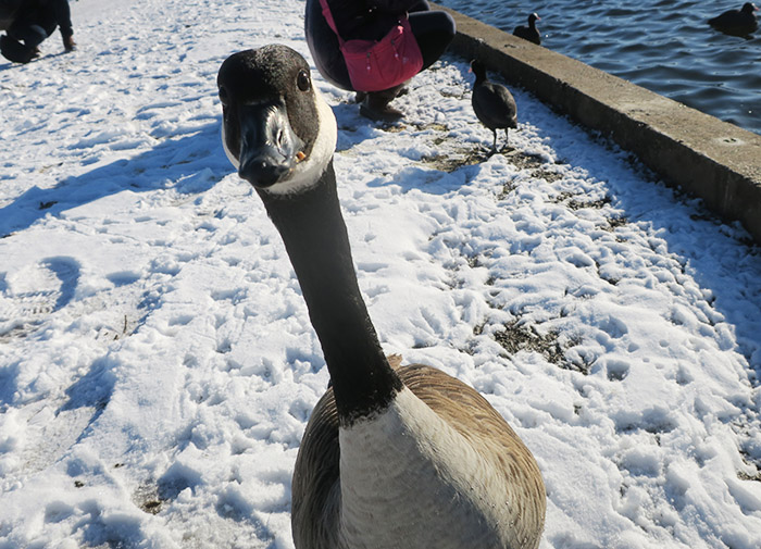 07_kanadagans_canada-goose_nymphenburger_2017-12-29_3415