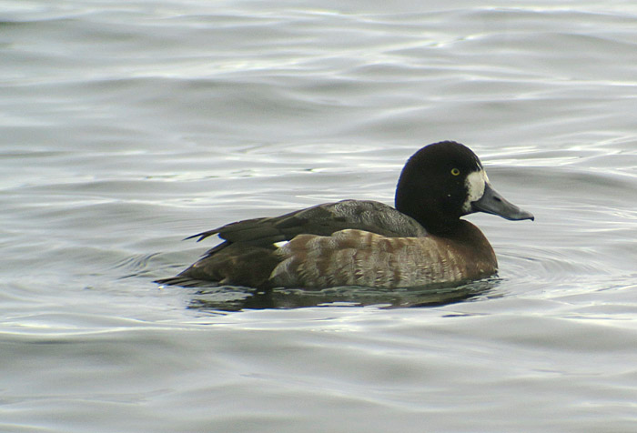 08_bergente_greater-scaup_seeshaupt_sta-see_2017-12-10_3071