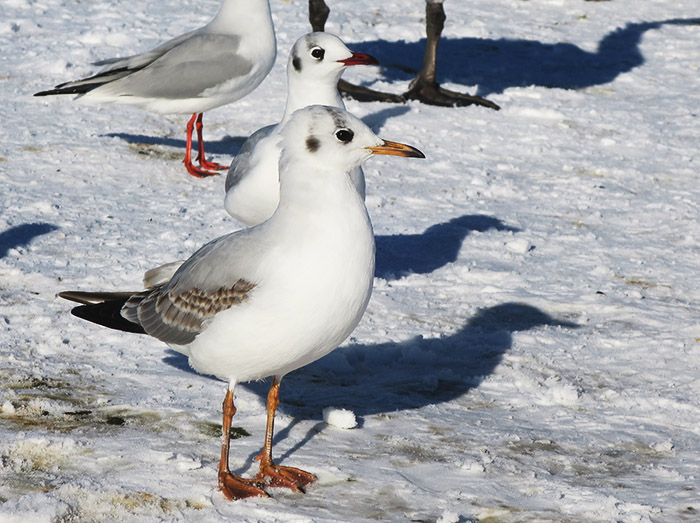 08_lachmoewe_black-headed-gull_nymphenburger_2017-12-29_3450