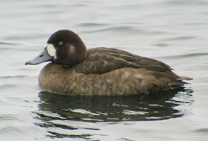 10_bergente_greater-scaup_seeshaupt_sta-see_2017-12-10_3119