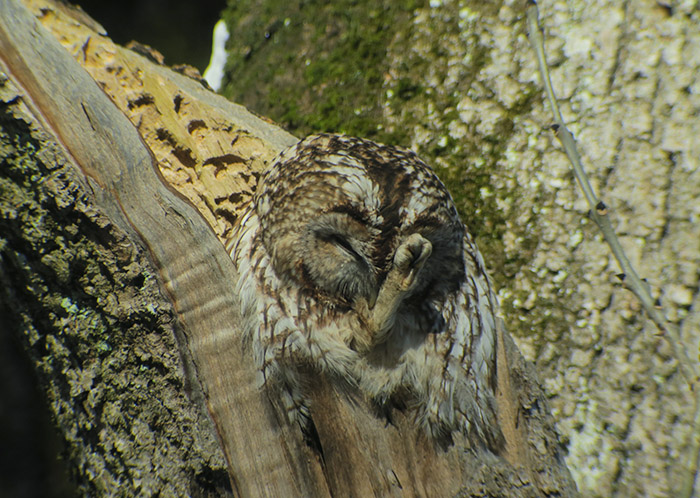 11_waldkauz_tawny-owl_nymphenburger_2017-12-29_3475